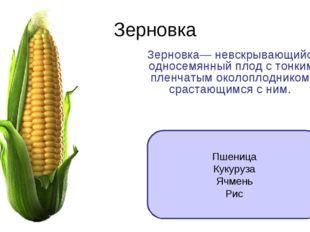 Зерновка Зерновка— невскрывающийся односемянный плод с тонким пленчатым около