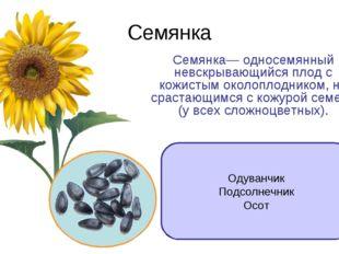 Семянка Семянка— односемянный невскрывающийся плод с кожистым околоплодником,