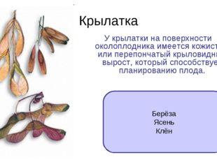 Крылатка У крылатки на поверхности околоплодника имеется кожистый или перепон