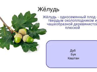 Жёлудь Дуб Бук Каштан Жёлудь - односемянный плод с твердым околоплодником и ч