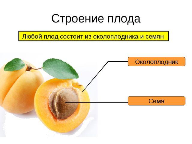 Строение плода Любой плод состоит из околоплодника и семян Околоплодник Семя