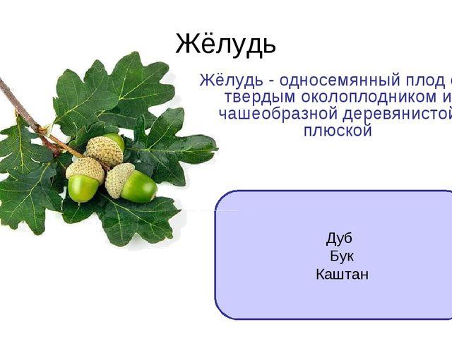 Жёлудь Дуб Бук Каштан Жёлудь - односемянный плод с твердым околоплодником и ч...