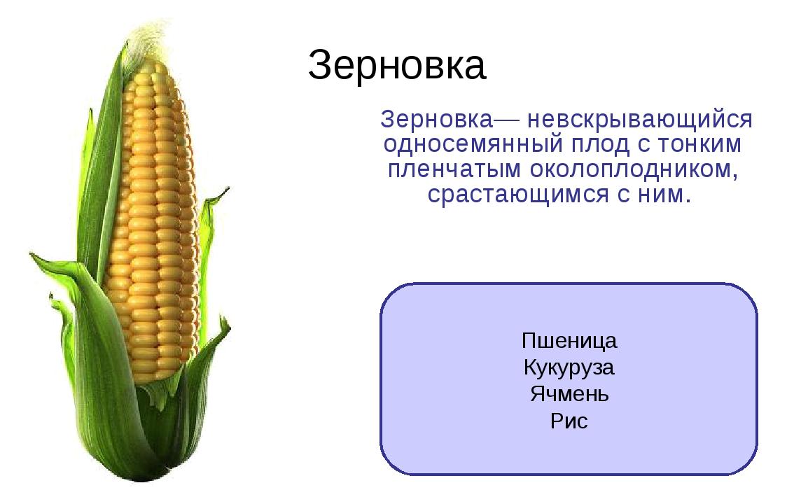 Зерновка Зерновка— невскрывающийся односемянный плод с тонким пленчатым около...
