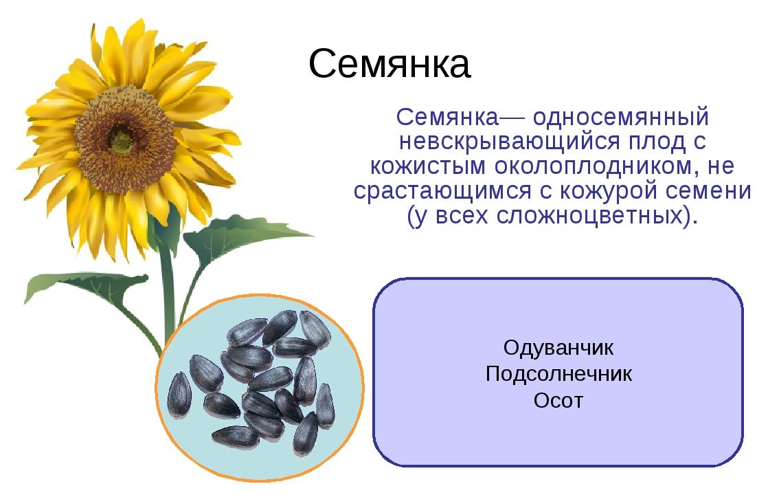 Семянка Семянка— односемянный невскрывающийся плод с кожистым околоплодником,...