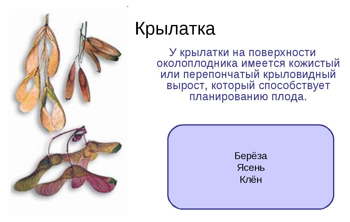 Крылатка У крылатки на поверхности околоплодника имеется кожистый или перепон...
