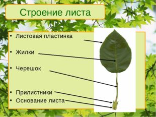 Листовая пластинка Жилки Черешок Прилистники Основание листа Строение листа *