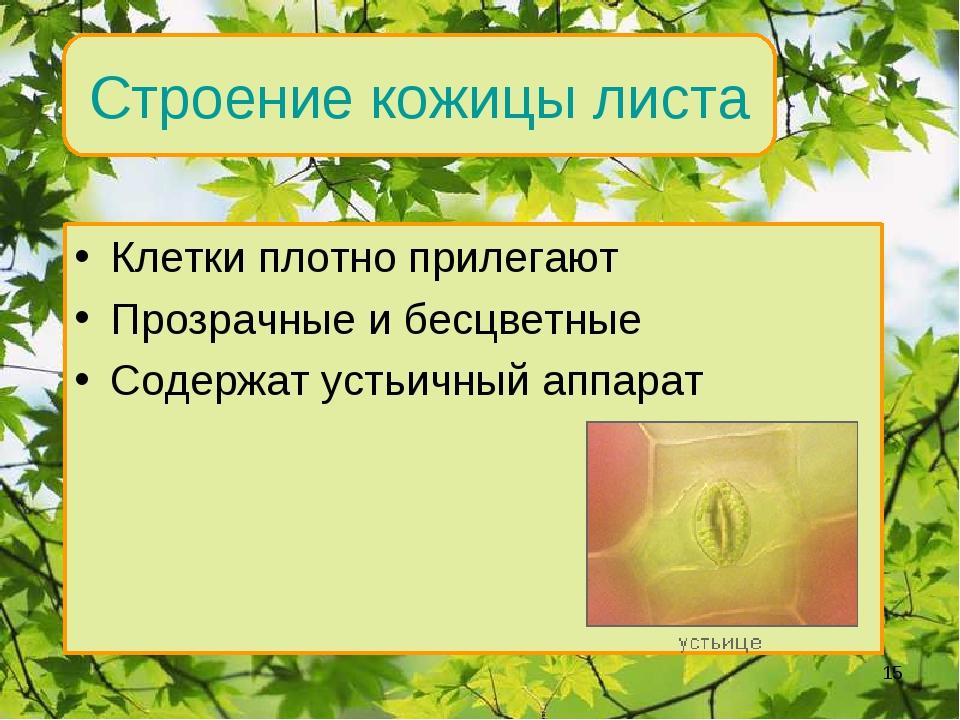 Внутреннее строение Строение кожицы листа Клетки плотно прилегают Прозрачные...