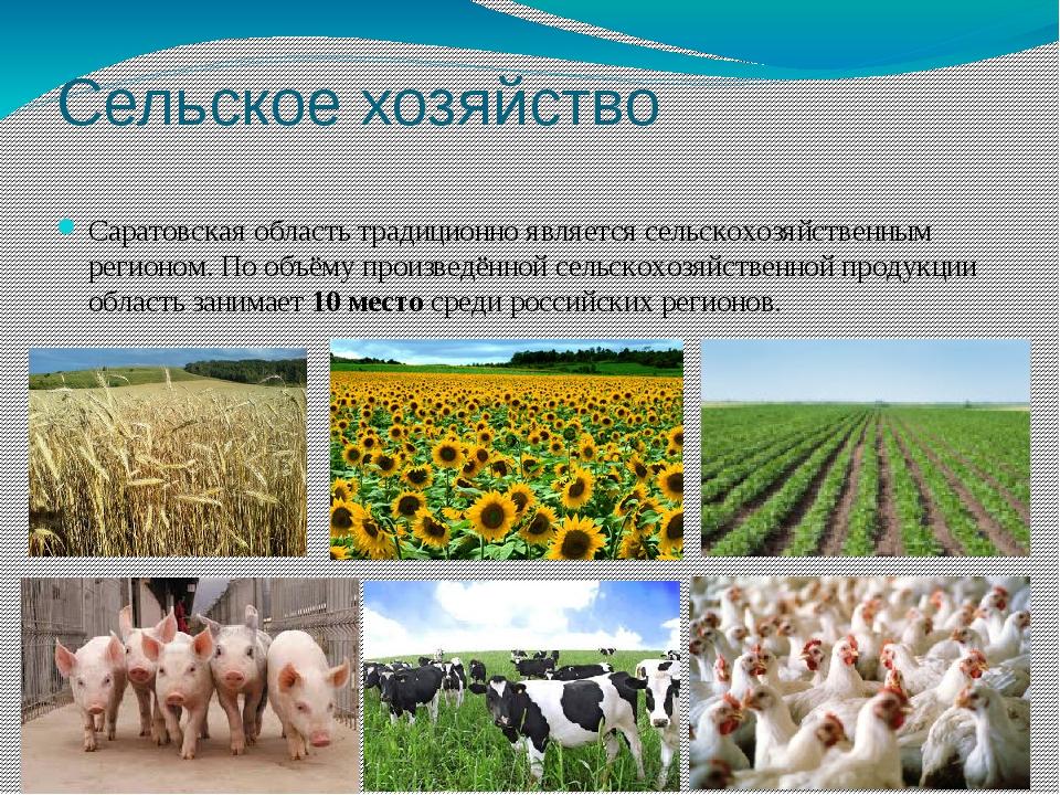 Сельское хозяйство Саратовская область традиционно является сельскохозяйствен...