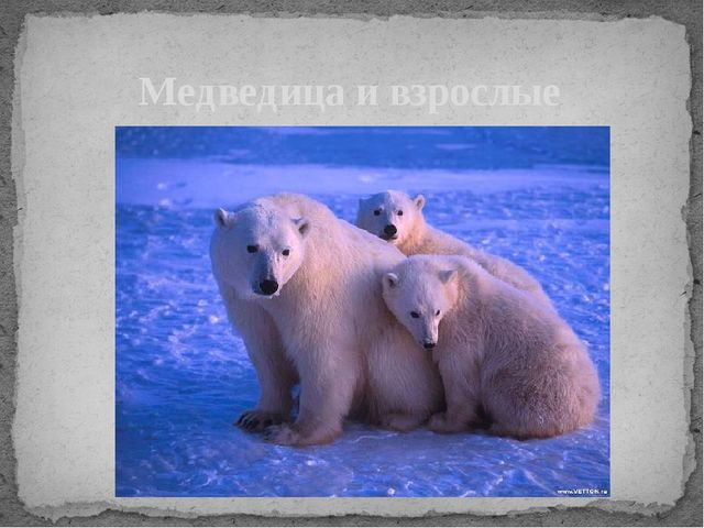 Медведица и взрослые медвежата