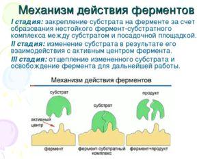 Механизм действия ферментов I стадия: закрепление субстрата на ферменте за сч