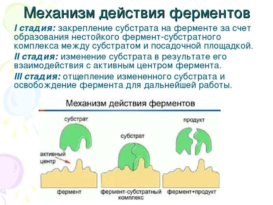 Механизм действия ферментов I стадия: закрепление субстрата на ферменте за сч...