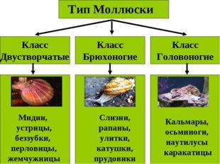 Тип Моллюски Класс Двустворчатые Класс Головоногие Класс Брюхоногие Мидии, ус