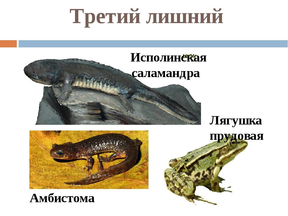 Третий лишний Исполинская саламандра Амбистома Лягушка прудовая