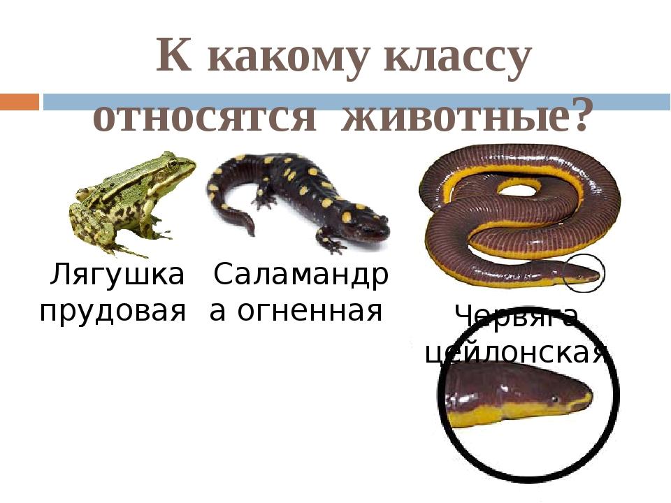 К какому классу относятся животные? Лягушка прудовая Саламандра огненная Черв...