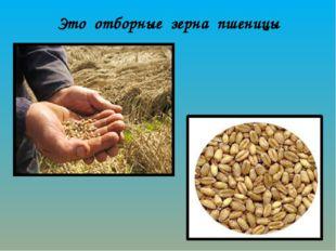 Это отборные зерна пшеницы