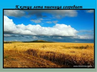 К концу лета пшеница созревает