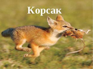 Корсак