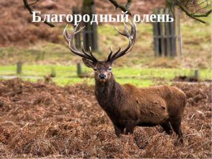 Благородный олень