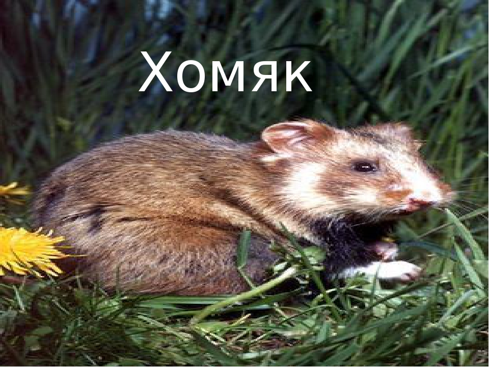 Хомяк