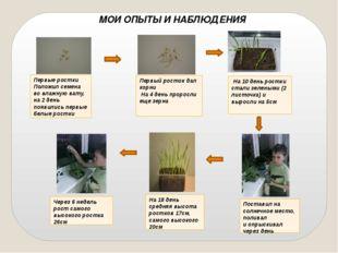 Первый росток дал корни На 4 день проросли еще зерна Поставил на солнечное м