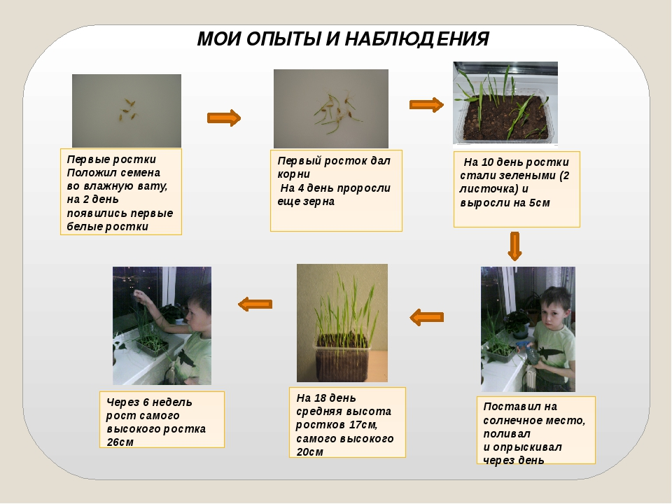 Первый росток дал корни На 4 день проросли еще зерна Поставил на солнечное м...