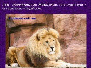 Африканский лев ЛЕВ - АФРИКАНСКОЕ ЖИВОТНОЕ, хотя существуют и его азиатские –