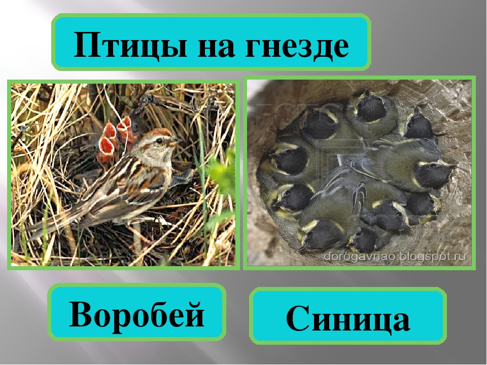Птицы на гнезде Воробей Синица