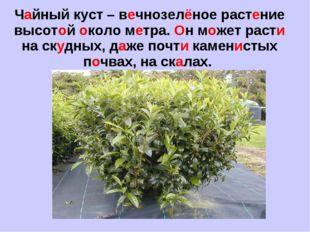 Чайный куст – вечнозелёное растение высотой около метра. Он может расти на ск