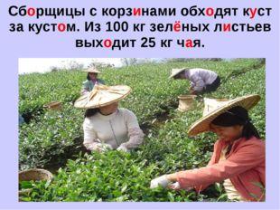 Сборщицы с корзинами обходят куст за кустом. Из 100 кг зелёных листьев выходи