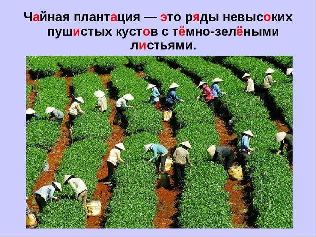 Чайная плантация — это ряды невысоких пушистых кустов с тёмно-зелёными листья...