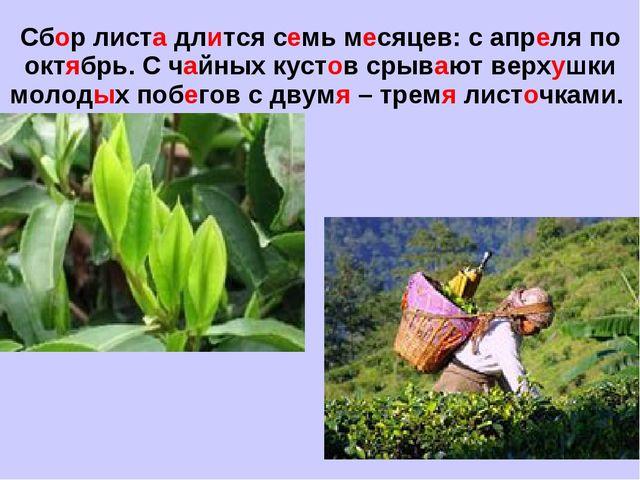 Сбор листа длится семь месяцев: с апреля по октябрь. С чайных кустов срывают...