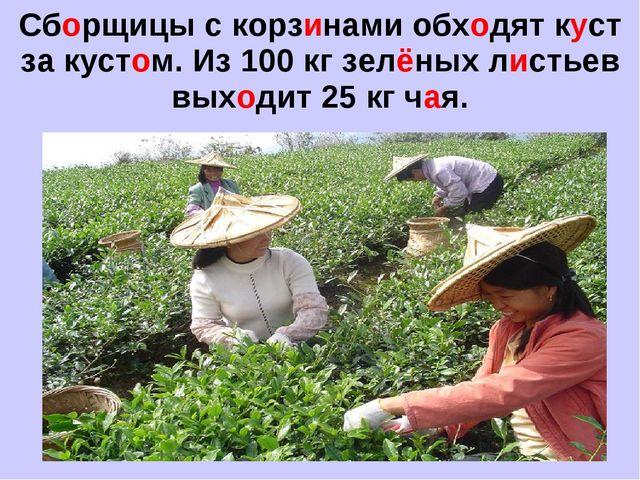 Сборщицы с корзинами обходят куст за кустом. Из 100 кг зелёных листьев выходи...