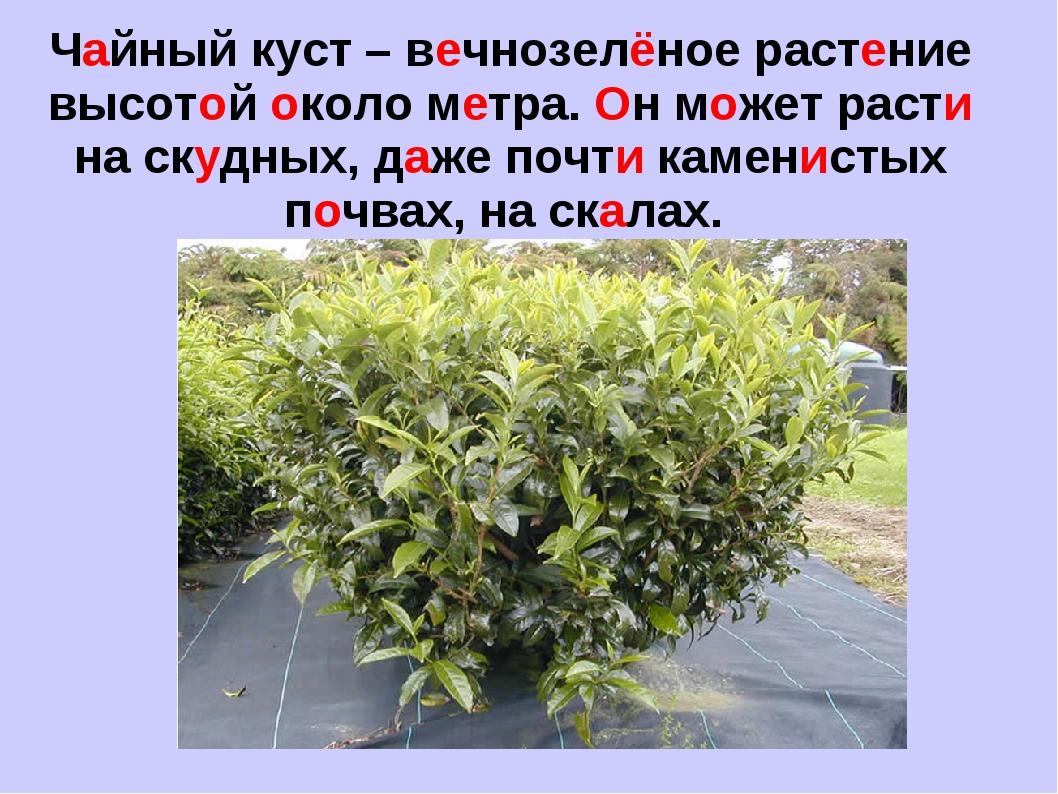 Чайный куст – вечнозелёное растение высотой около метра. Он может расти на ск...