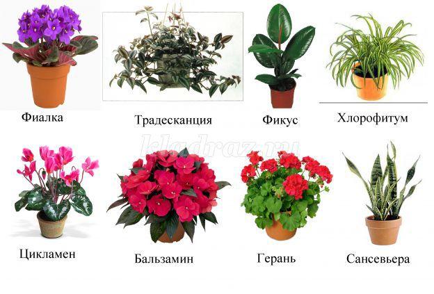 Фото комнатных цветов для доу