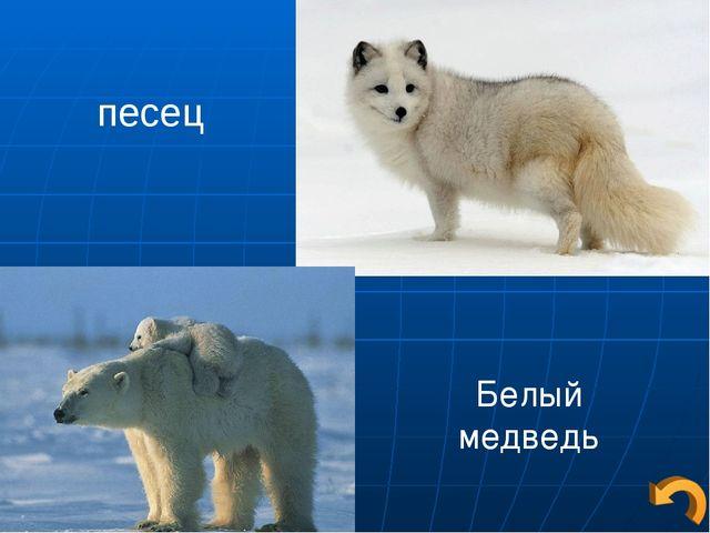 песец Белый медведь
