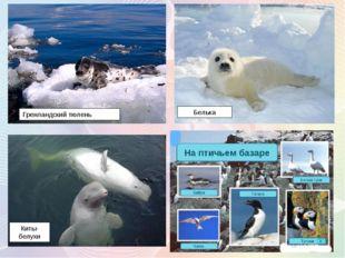 Гренландский тюлень Белька Киты-белухи