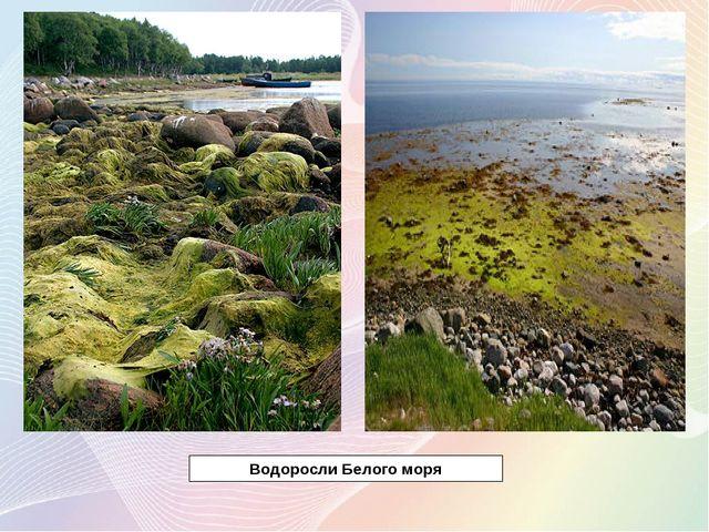 Водоросли Белого моря
