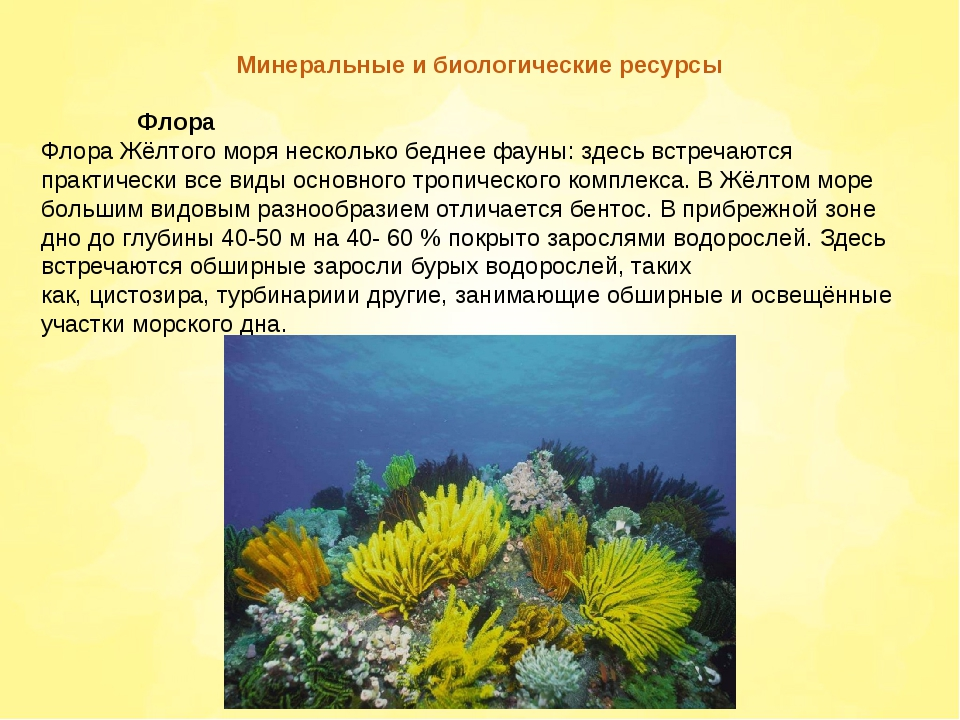 Минеральные и биологические ресурсы Флора Флора Жёлтого моря несколько бедн...