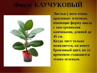 Фикус КАУЧУКОВЫЙ Листья у него очень красивые: плотные, имеющие форму овала с