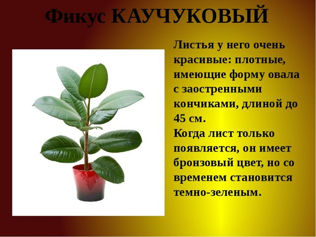 Фикус КАУЧУКОВЫЙ Листья у него очень красивые: плотные, имеющие форму овала с...