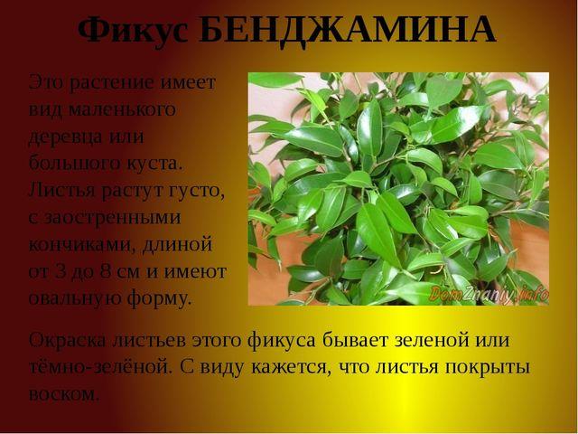 Фикус БЕНДЖАМИНА Это растение имеет вид маленького деревца или большого куста...