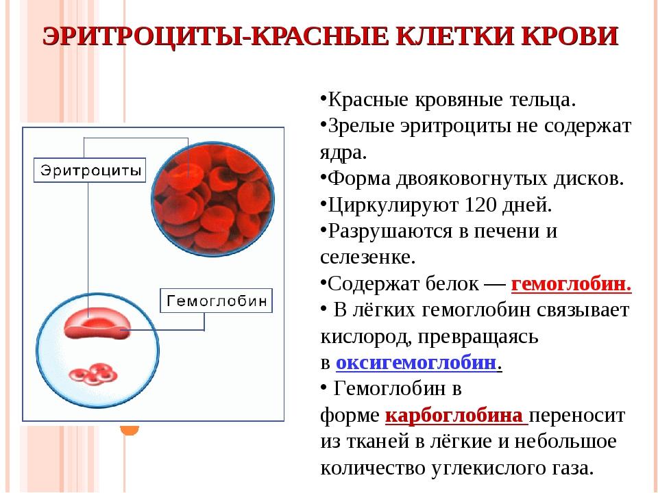 ЭРИТРОЦИТЫ-КРАСНЫЕ КЛЕТКИ КРОВИ Красные кровяные тельца. Зрелые эритроциты не...