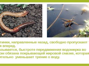 1.Щетинки, направленные назад, свободно пропускают тело червя вперед. 2.Оказы