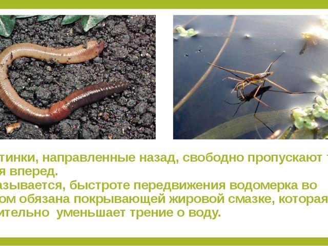1.Щетинки, направленные назад, свободно пропускают тело червя вперед. 2.Оказы...