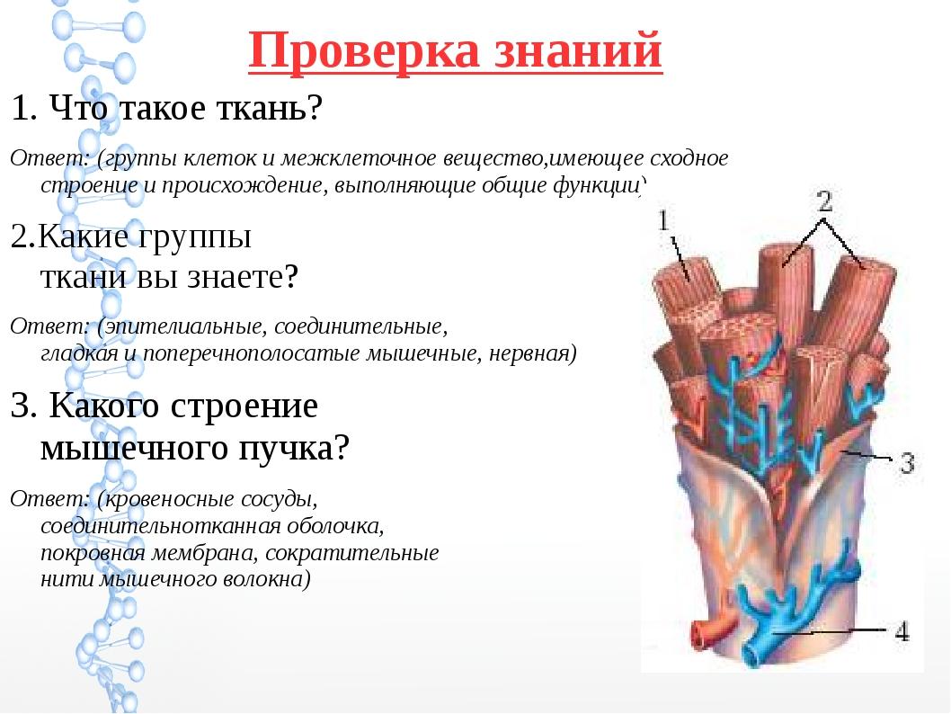 Проверка знаний 1. Что такое ткань? Ответ: (группы клеток и межклеточное веще...