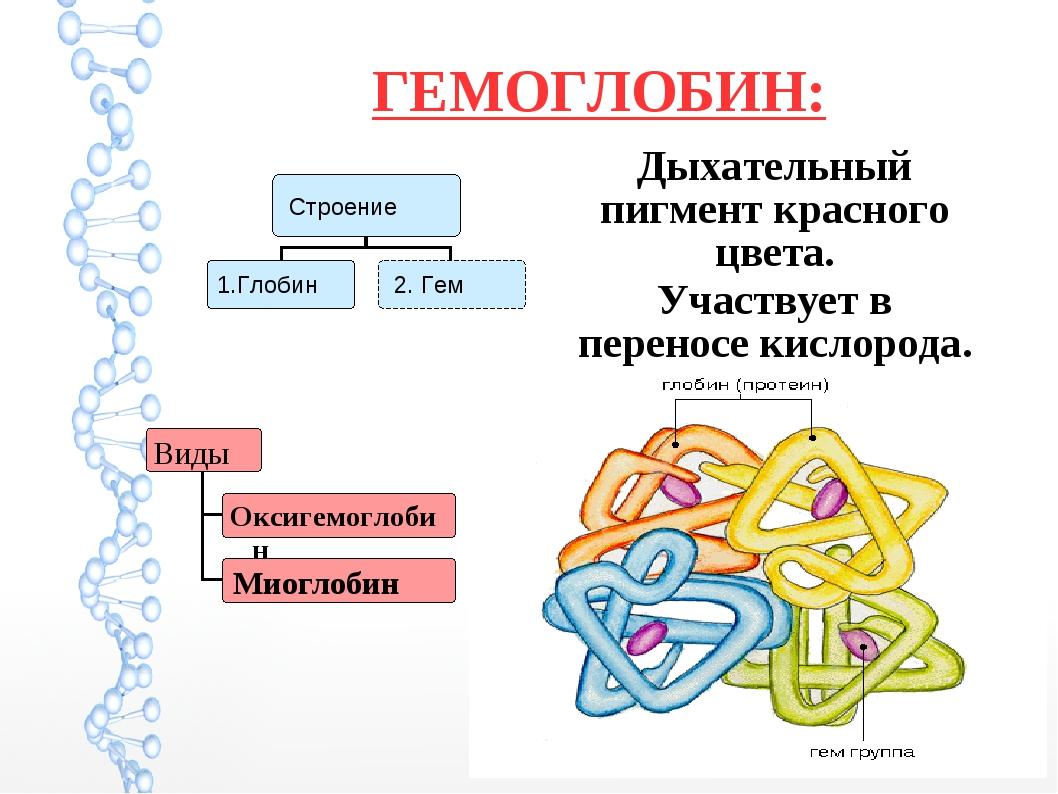 ГЕМОГЛОБИН: Дыхательный пигмент красного цвета. Участвует в переносе кислорода.