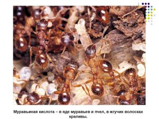 Муравьиная кислота – в яде муравьев и пчел, в жгучих волосках крапивы.