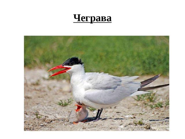Чеграва