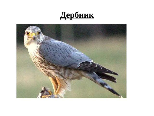 Дербник