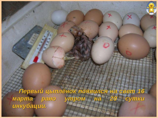 Первый цыплёнок появился на свет 16 марта рано утром на 20 сутки инкубации.